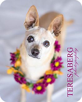 Chihuahua Mix Dog for adoption in McKinney, Texas - Miss Trixie