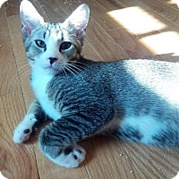 Domestic Shorthair Kitten for adoption in Westerly, Rhode Island - Percy and Alistair
