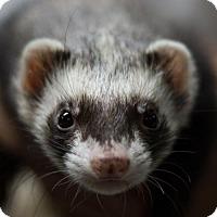 Adopt A Pet :: Moe - Balch Springs, TX