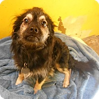 Adopt A Pet :: Badger - Redding, CA