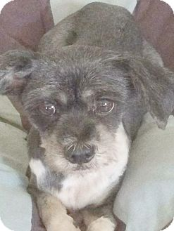 Lhasa Apso Dog for adoption in Homer Glen, Illinois - Gigi