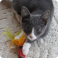 Domestic Shorthair Kitten for adoption in Glenwood, Minnesota - Ragay