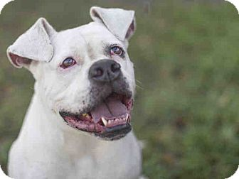American Bulldog Mix Dog for adoption in Beverly Hills, California - A1385156 is at North Central