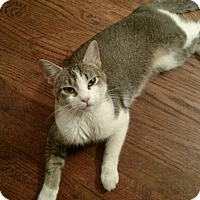 American Shorthair Cat for adoption in Livonia, Michigan - Sky