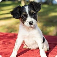 Adopt A Pet :: AMY- Mila's baby - Alvin, TX