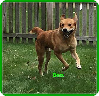 Golden Retriever/Akita Mix Dog for adoption in Elburn, Illinois - Ben