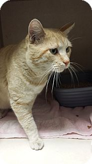 Domestic Shorthair Cat for adoption in Westminster, California - Shepherd