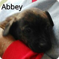 Adopt A Pet :: Abbry - Burlington, VT