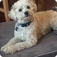 Adopt A Pet :: Dillon-ADOPT Me! - Redondo Beach, CA