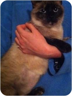 Siamese Cat for adoption in Wilmington, Delaware - Sherri