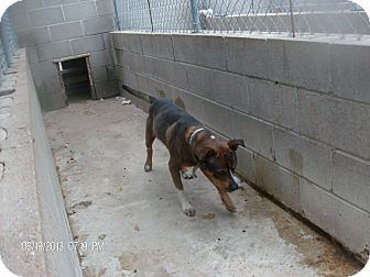 Shepherd Dog Mix Dog for adoption in KELLYVILLE, Oklahoma - BUDDA