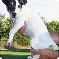 Adopt A Pet :: JOEY - Phoenix, AZ
