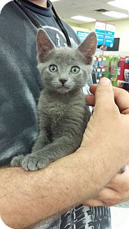 Russian Blue Kitten for adoption in Monrovia, California - Wendybird