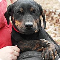 Adopt A Pet :: Donatello - Starkville, MS