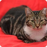 Domestic Mediumhair Cat for adoption in Queens, New York - Sabrina