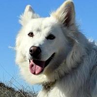 Adopt A Pet :: Aussie - San Diego, CA