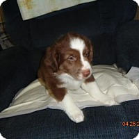 Adopt A Pet :: LULU- currently in a foster home - Roanoke, VA