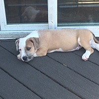 Boxer Mix Puppy for adoption in Westminster, Maryland - Nutty