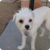 Adopt A Pet :: Rizzo formerly Mochi - Las Vegas, NV