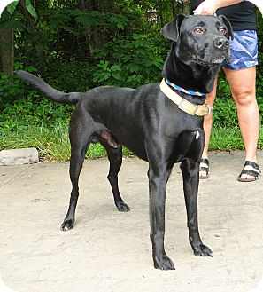 Labrador Retriever Mix Dog for adoption in Lewisville, Indiana - Diesel
