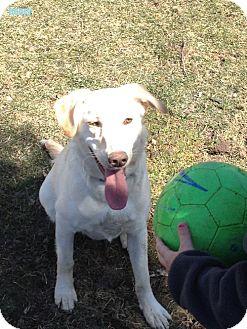 German Shepherd Dog/Labrador Retriever Mix Dog for adoption in Rochester, New York - Henry 'Mr. Love'