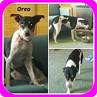 Adopt A Pet :: OREO - Malvern, AR