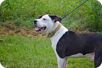 Pit Bull Terrier Dog for adoption in Lewisburg, West Virginia - Thor