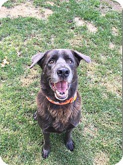 Labrador Retriever Mix Dog for adoption in Peace Dale, Rhode Island - Choco