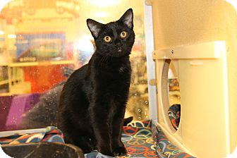 Domestic Shorthair Kitten for adoption in Rochester, Minnesota - Gutsy