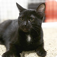 Adopt A Pet :: American Beauty - Kettering, OH