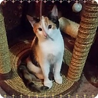 Calico Kitten for adoption in Okotoks, Alberta - Daisy
