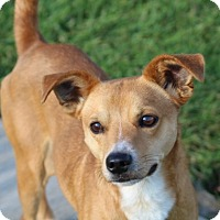 Feist/Chihuahua Mix Dog for adoption in Liberty Center, Ohio - Roco