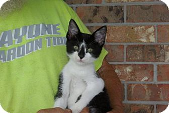 Domestic Shorthair Kitten for adoption in Slidell, Louisiana - Checkers