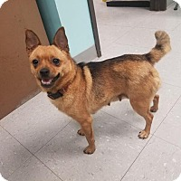 Pomeranian/Chihuahua Mix Dog for adoption in Washington Court House, Ohio - Tater