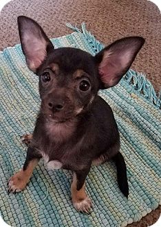 Terrier (Unknown Type, Small)/Chihuahua Mix Puppy for adoption in Mission Viejo, California - WHITLEY