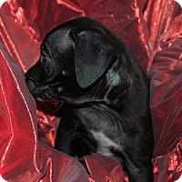 Labrador Retriever/Blue Heeler Mix Puppy for adoption in Lebanon, Tennessee - TAZ