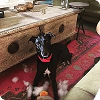 Adopt A Pet :: Chloe- Indian Pariah Dog - Monroe, NJ