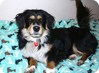 Cavalier King Charles Spaniel/Corgi Mix Dog for adoption in Bellflower, California - Jaspar