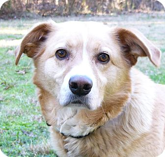 Labrador Retriever/Golden Retriever Mix Dog for adoption in Mocksville, North Carolina - Jacqueline