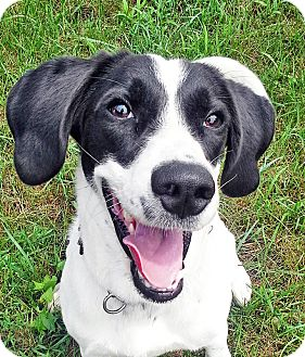 Springer Spaniel/Beagle Mix Dog for adoption in Brighton, Michigan ...