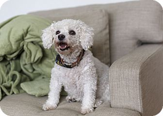 Bichon Frise Dog for adoption in Rigaud, Quebec - Dior