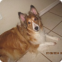 Adopt A Pet :: Shaylee - apache junction, AZ