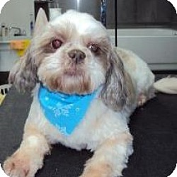 Photo 1 - Shih Tzu Mix Dog for adoption in Homer, New York - Chloie