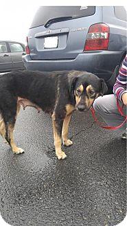 Shepherd (Unknown Type) Mix Dog for adoption in Gainesville, Virginia - Sage
