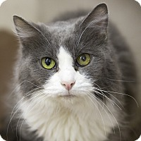 Domestic Mediumhair Cat for adoption in Germantown, Ohio - Sheeba