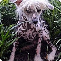Adopt A Pet :: Arrow - Bridgeton, MO