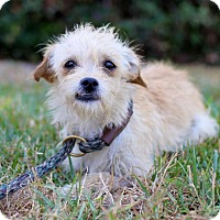 Maltese/Cairn Terrier Mix Puppy for adoption in San Diego, California - Perdie