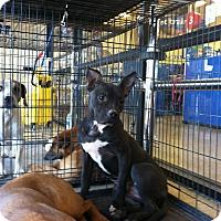 Adopt A Pet :: Pinky - Las Vegas, NV
