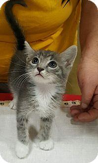 Domestic Shorthair Kitten for adoption in Alhambra, California - Misty