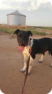 Blue Heeler/Border Collie Mix Puppy for adoption in Crosbyton, Texas - Emma